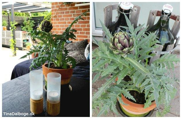 Artiskokplante i potte på teressen