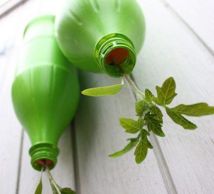 Hængende tomatplanter