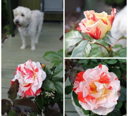 Hanky Panky-rose - anderledes stribet sort god som buketrose i bede og krukker