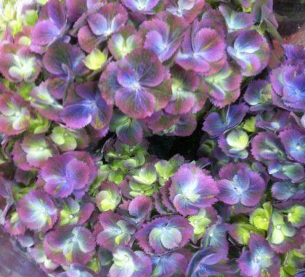 Hortensia i flotte lilla, blå, hvide og lime farver - om mors dag på Tina Dalbøges blog.