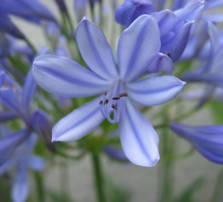 blå skærmliljer