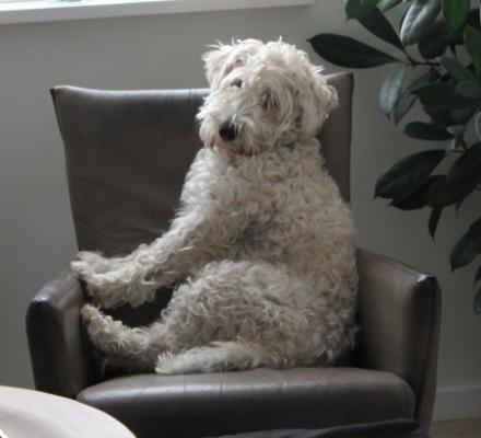 hund i lænestol