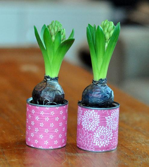 hyacinter i koncervesdåser