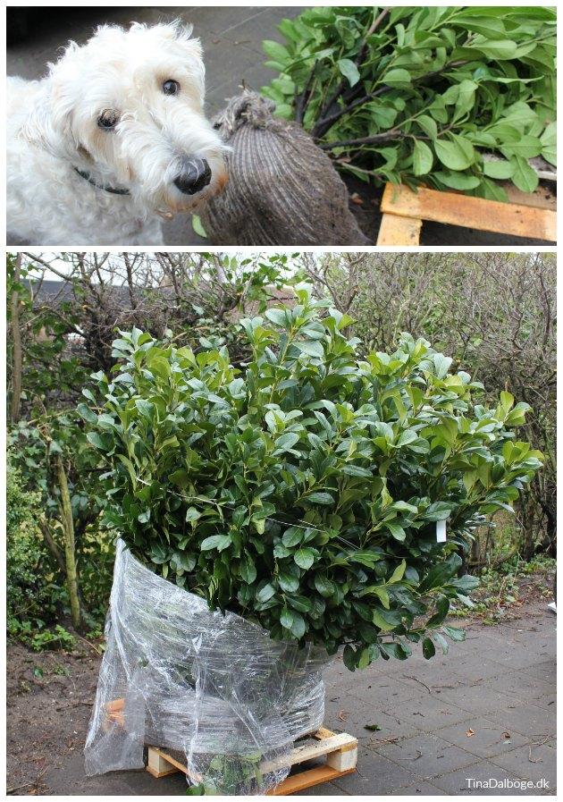 laurbærkirsebær etna stedsegrøn hæk tinadalboge