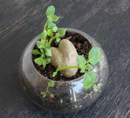 Plante lavet af en hjerteformet kartoffel.