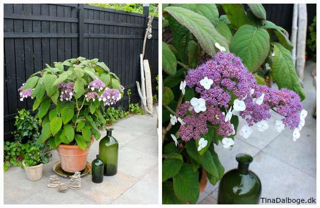 have hortensia på tina dalbøges terrasse