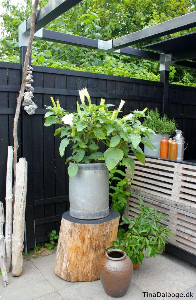 trompetblomst på terrasse med udekøkken af traller